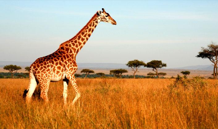 ¿Qué Hay De Mí? Capítulo153 Jirafa_safari_masai_mara