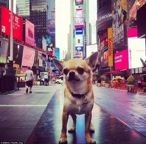 Perro Chihuahua turista en Nueva York