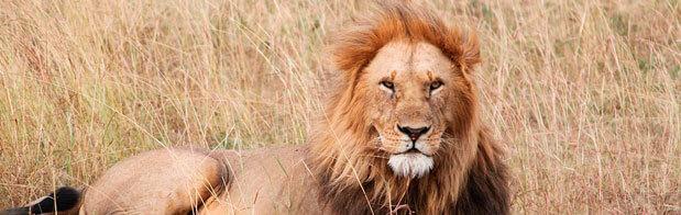 El rey de la selva en africa. Hermoso león