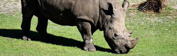 el rinoceronte en la sabana africana