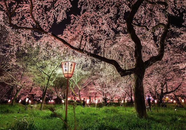 Circuito Japón, Cerezos