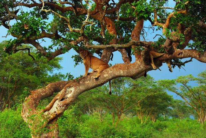 Safari por Uganda, leones trepadores
